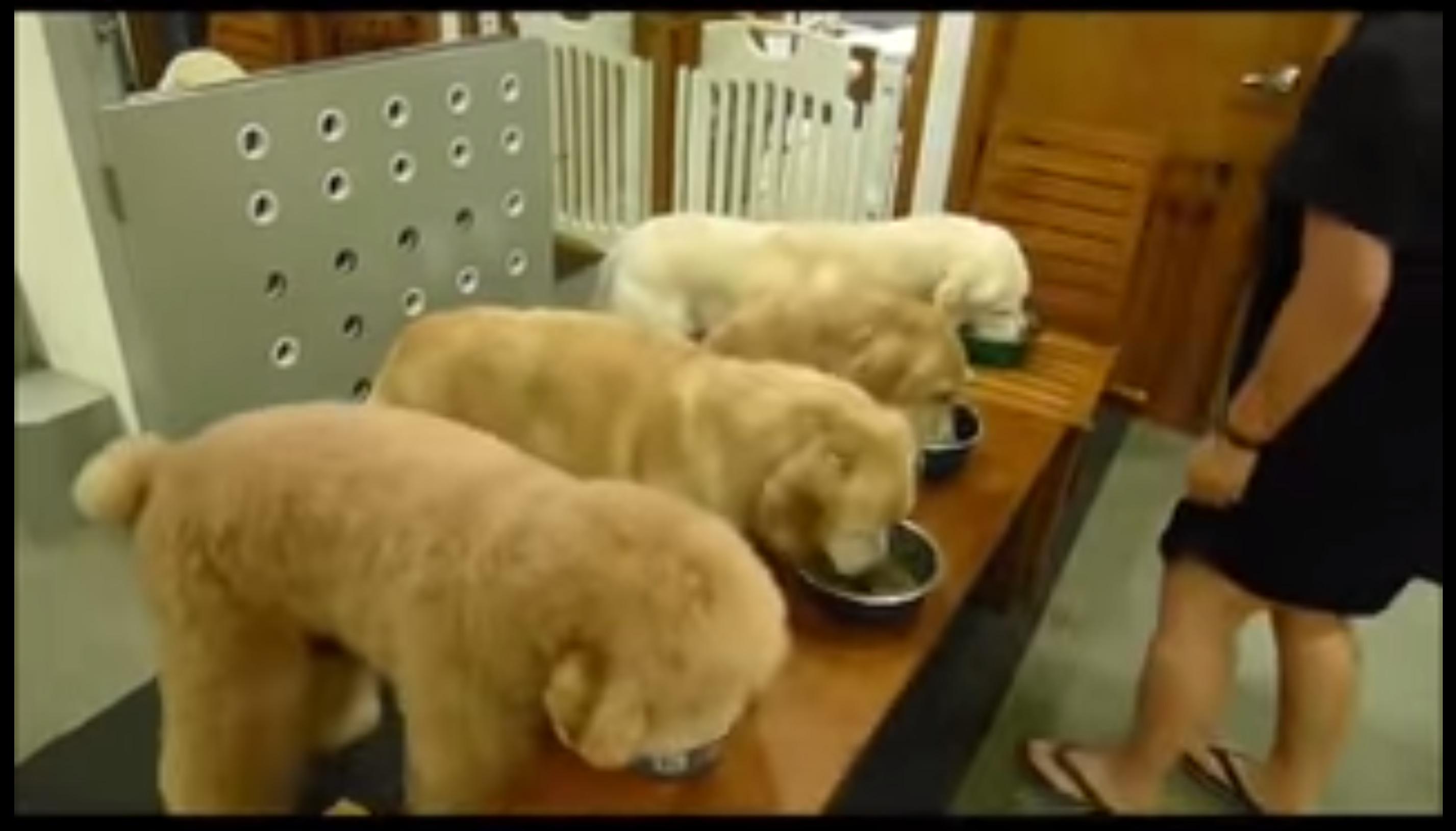 الكلاب في كوكب اليابان الشقيق